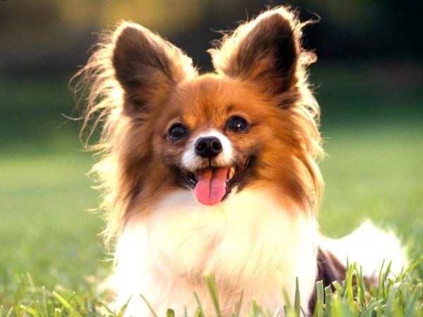 ご近所に迷惑をかけない☆性格が大人しい犬の種類、おすすめ7選